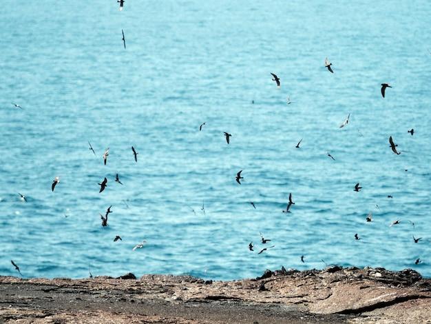 エクアドルのガラパゴス諸島で飛んでいるガラパゴスミズナギドリの群れ