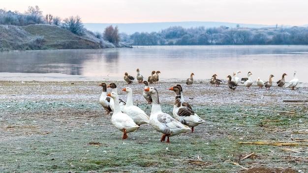 Стая гусей на берегу реки в морозную погоду. разведение гусей