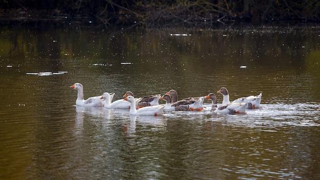 水上のガチョウの群れ。ガチョウは川に映る