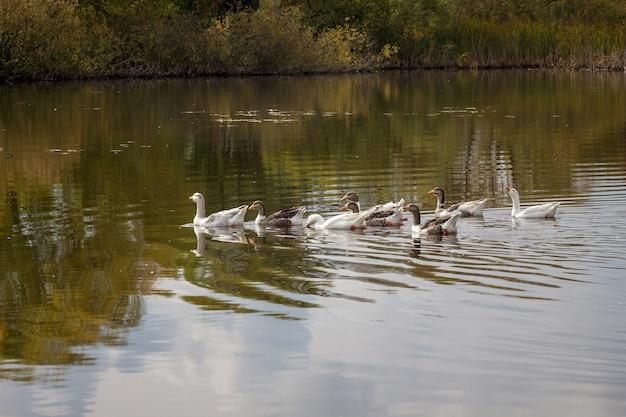 ガチョウの群れが岸近くの川を泳ぎ、川の木々が映ります。
