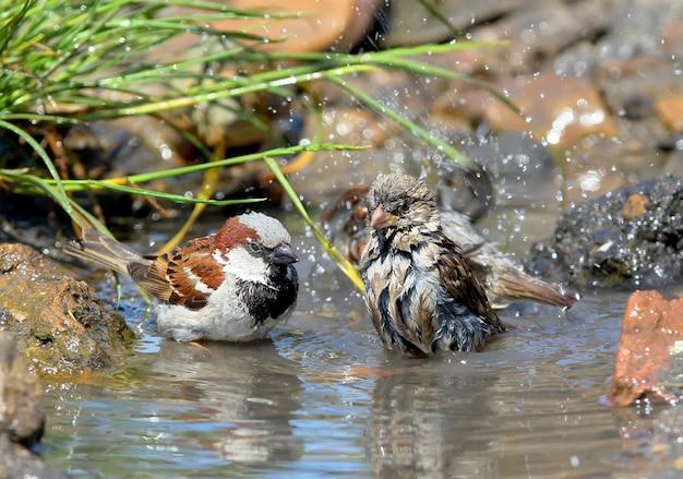 물 웅덩이에서 목욕하는 집 참새 무리