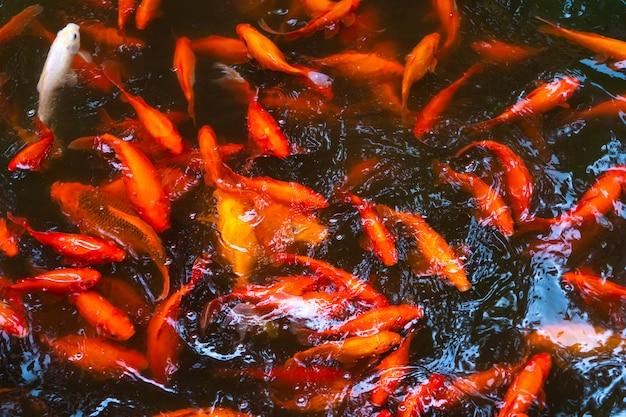Стая японских красных карпов в пруду. рыба для украшения интерьера.