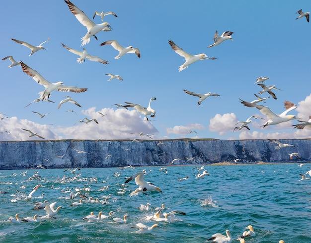 Стая северных олуш, летающих в северном море у скал бэмптон, побережье йоркшира, великобритания
