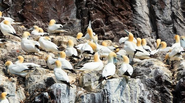 Стая северных олуш отдыхает на острове басс-рок, шотландия, северное море.