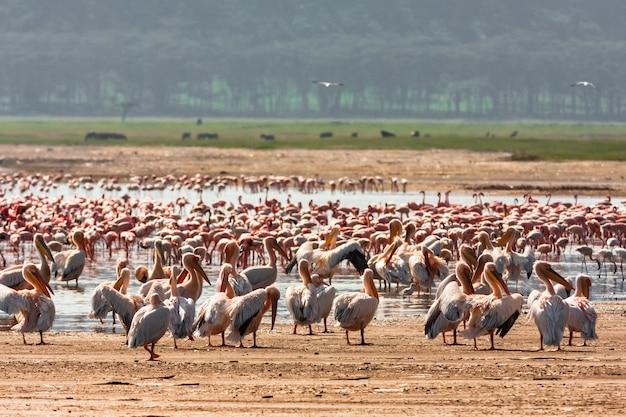 Стая пеликанов на берегу озера. накуру, кения (rev.2)