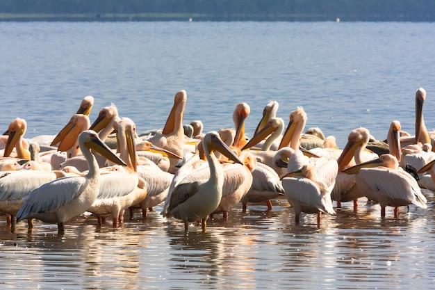 Стая пеликанов на берегу озера. накуру, кения