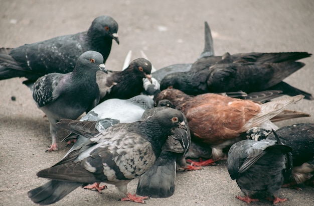 Стая голубей ест на улице