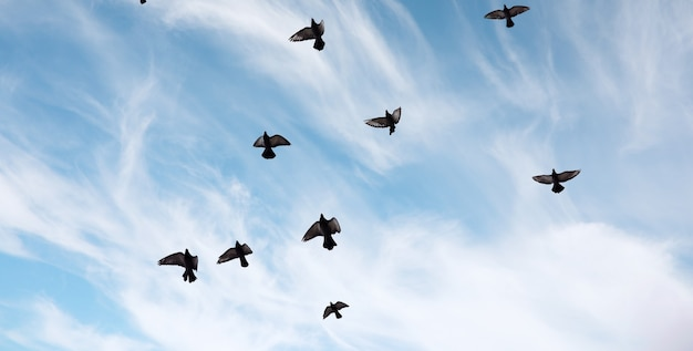 비둘기 떼가 하늘을 날고 있습니다. 새들이 하늘을 날고 있습니다. 큰 무리의 비둘기들이 흰 바탕에 하늘을 가로질러 날아갑니다.