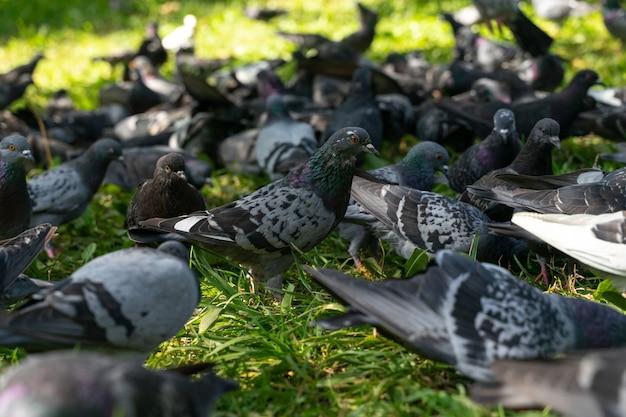 公園でエサを探す鳩の群れ。