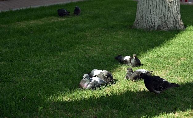 Стая голубей сидит на траве