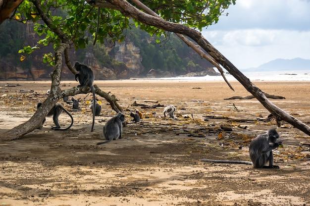 본 섬의 해변에 앉아 있는 희귀한 검은 원숭이 떼. 러프드 앙코텔, 실버 랑구르.