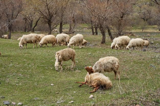 초원에서 양떼가 풀을 뜯고 있습니다. 임신한 양이 새끼를 낳습니다.