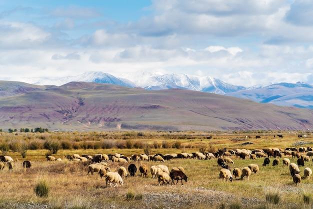 Стадо овец пасется в осенней чуйской долине. россия, республика алтай