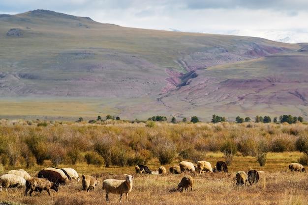 Стадо овец пасется в осенней чуйской долине. россия, алтайская республика