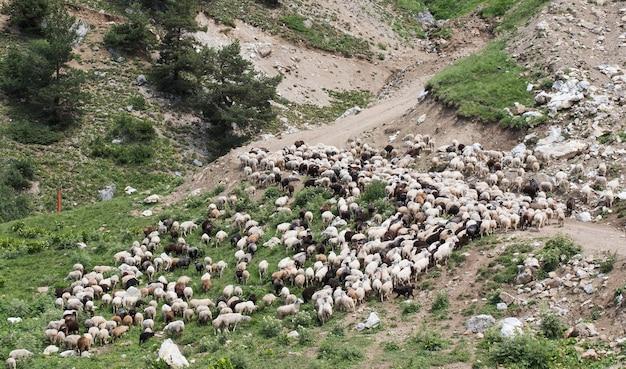 育てられた山のフリーレンジ動物の牧草地の羊の群れ
