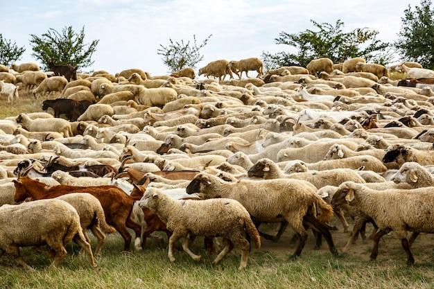 Стадо овец на лугах.