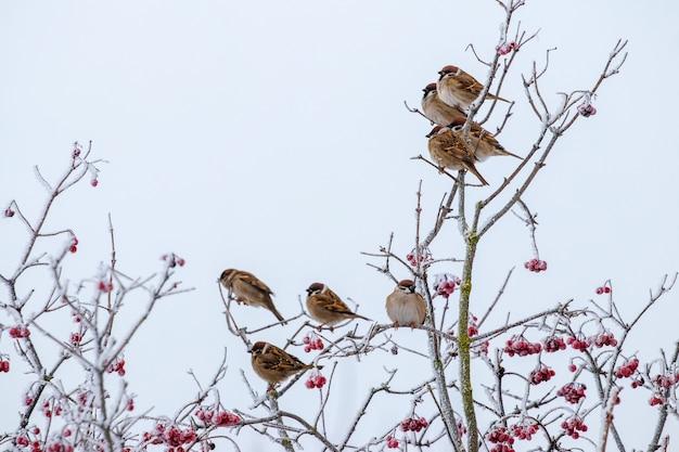 スズメの群れは、厳しい霜の中で冬に木の乾燥した枝に座っています。冬の鳥