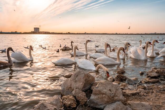 日没時の川の白鳥の群れ、ぼやけた動き
