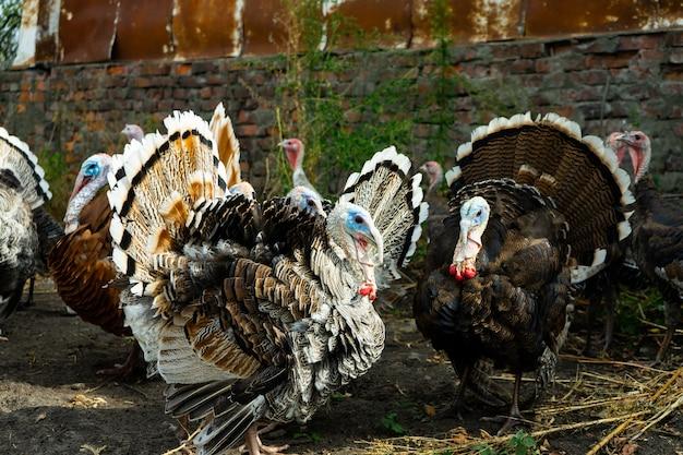 Стая индеек. птица. сельское хозяйство. стая домашней птицы.