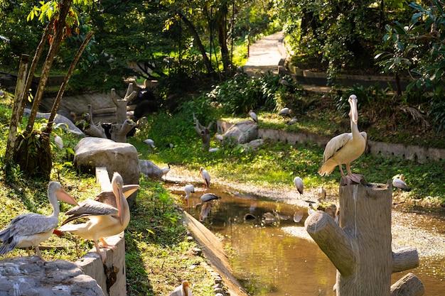 Стая белых пеликанов, которые живут в птичьем парке