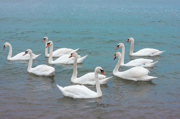 白い白鳥の群れが青い水の中を泳ぐ