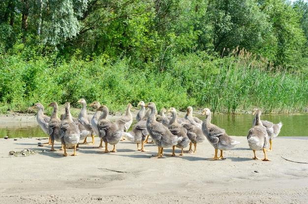 Стая молодых серых гусей на берегу пруда в солнечный день.
