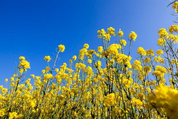 Цветущее поле рапса в сельской местности