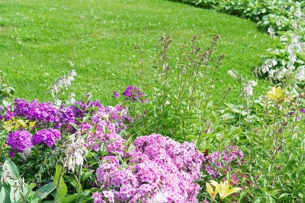 녹색 잔디를 배경으로하는 플록스 꽃의 화단.