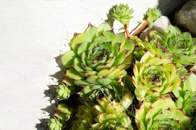白い石の壁を背景にバラの多肉植物の花壇。植物のコンセプト、ランドスケープデザイン。