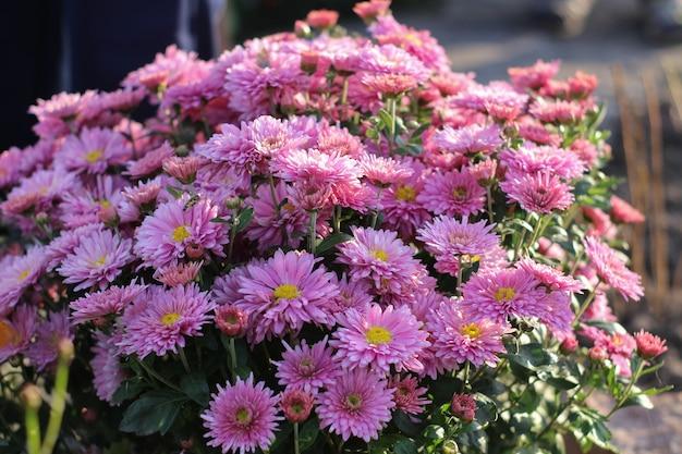 Клумба с цветами астры красочные разноцветные цветы астры многолетнее растение крупным планом клумба астра в начале сентября в сентябре в поле фермы