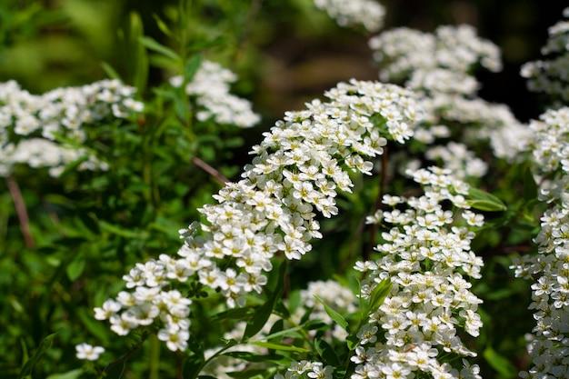 녹지 사이에 흰색 꽃이있는 argut spirea의 꽃 가지