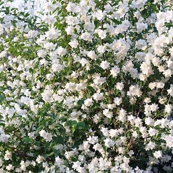 Цветущий куст жасмина в саду