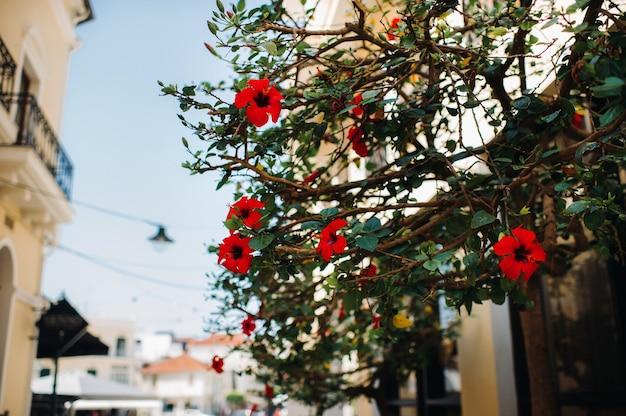 Цветущее дерево в старом городе закинтос. цветы в городе на острове закинф
