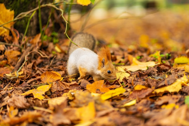 푹신한 아름다운 다람쥐가 도시 공원에서 가을에 떨어진 노란 낙엽 사이에서 음식을 찾고 있습니다.
