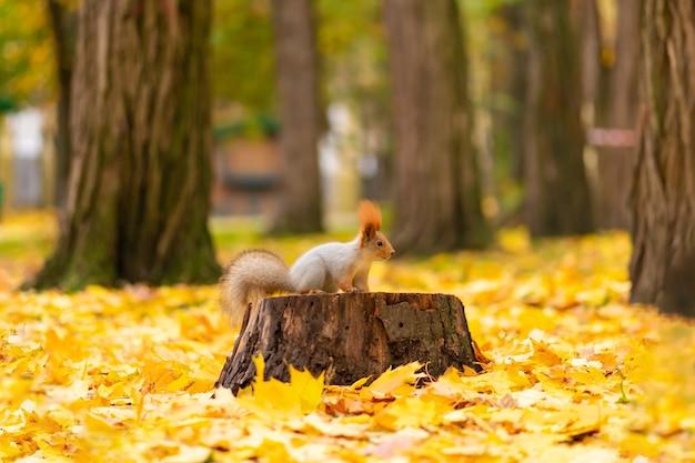 Пушистая красивая белочка ищет пищу среди опавших желтых листьев осенью в городском парке.