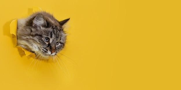 세심한 지적인 표정의 솜털 고양이가 노란 종이의 찢어진 구멍을 내다 본다.