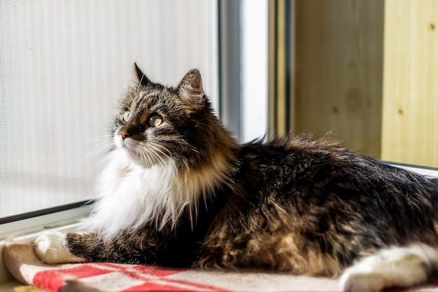 푹신한 회색과 흰색 고양이가 창턱의 체크 무늬 담요에 누워 창 밖을 내다 본다.