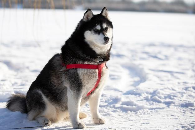Пушистый хаски сидит на снегу и смотрит в камеру.