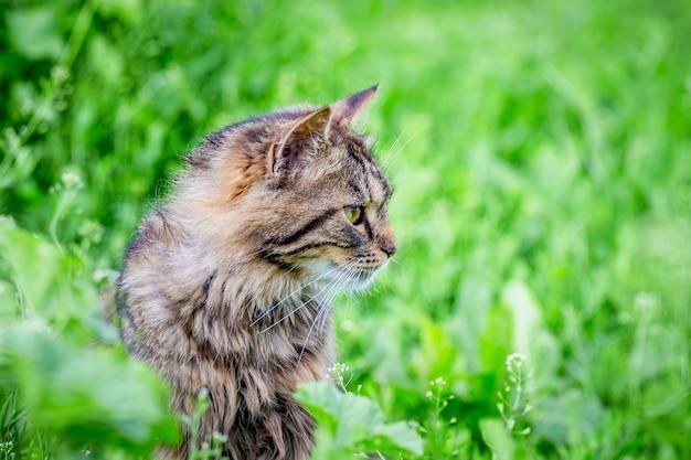庭の緑の芝生にいるふわふわの縞模様の猫は脇に見えます