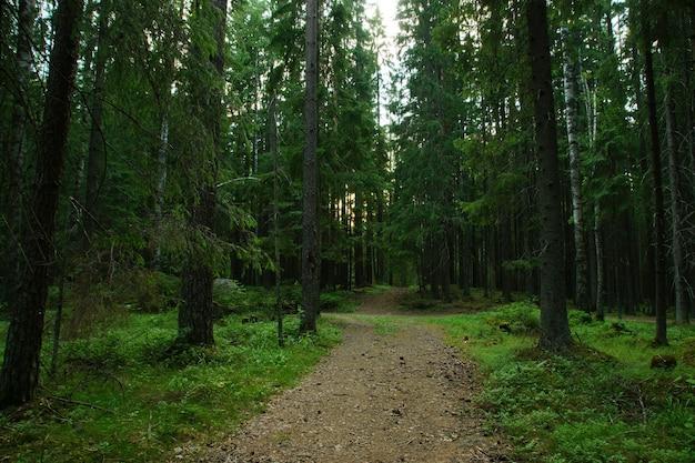 夏の針葉樹のトウヒの森の遠くに伸びる歩道。