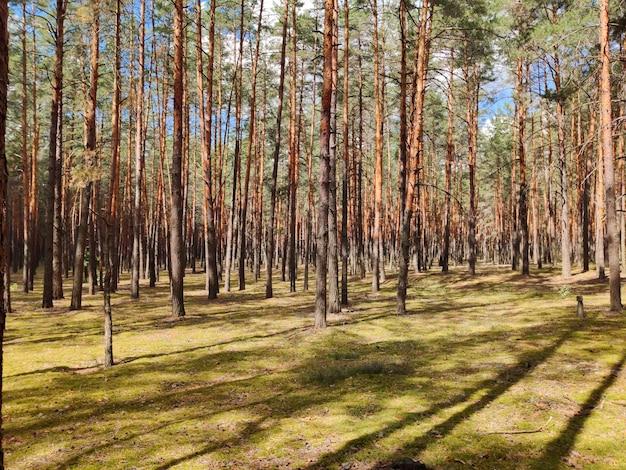 なめらかな松がたくさんある森の空き地