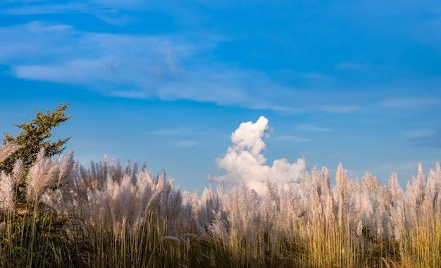 밝은 햇빛과 함께 깨끗한 푸른 하늘 아래 칸스 풀이나 캣킨 꽃의 숲