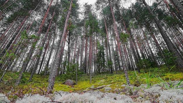 背の高い松の森