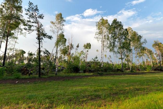 마지막 폭풍, 황혼, 일몰 시간 이후에 부러진 자작 나무가 많은 숲