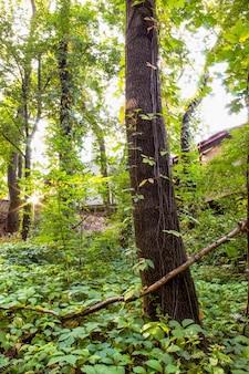 緑の木々や茂みがたくさんある森、地面に落ち葉、モルドバのキシナウに太陽が差し込む