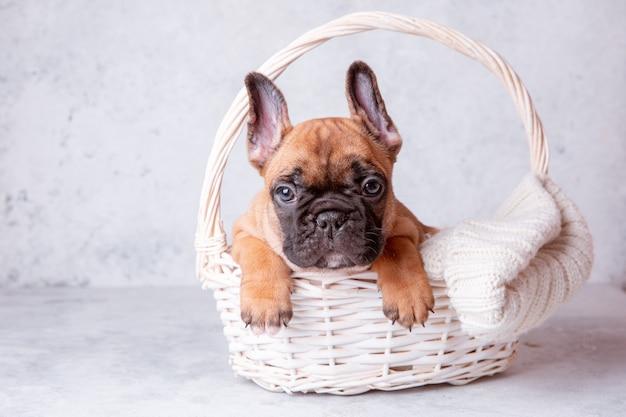 バスケットに入ったフレンチブルドッグの子犬