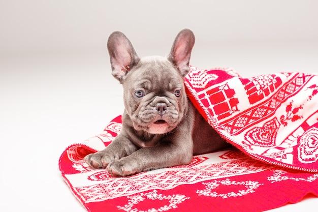 Щенок французского бульдога завернут в рождественское одеяло на белом