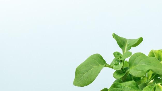 明るい表面に大きな葉を持つ新緑の植物