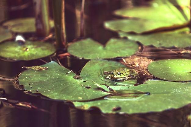 日本庭園のスイレンの葉の上にカエルが座っています。