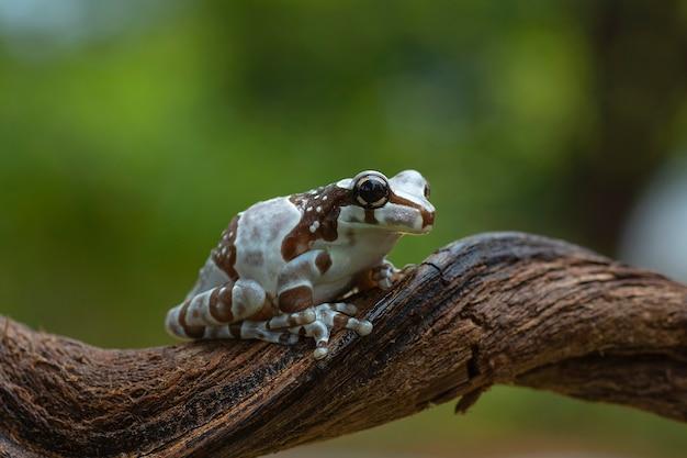 木の枝に座っているカエル
